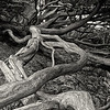 Cypress Roots