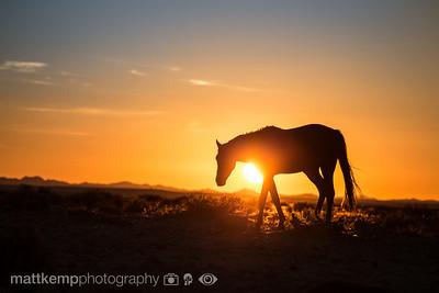 Aus-feral-desert-horse