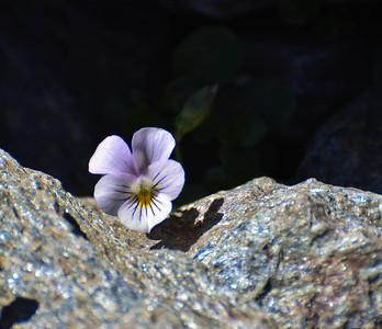Viola crassiuscula. Sierra Nevada Violet
