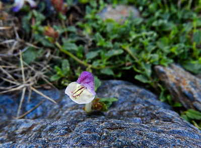 Scutellaria alpine (alpine skullcap)
