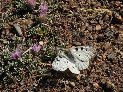 Parnassius apollo subsp nevadensis