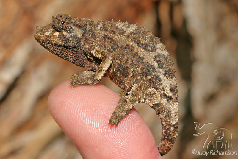 Jackson Chameleon with tail wrapped around thumb