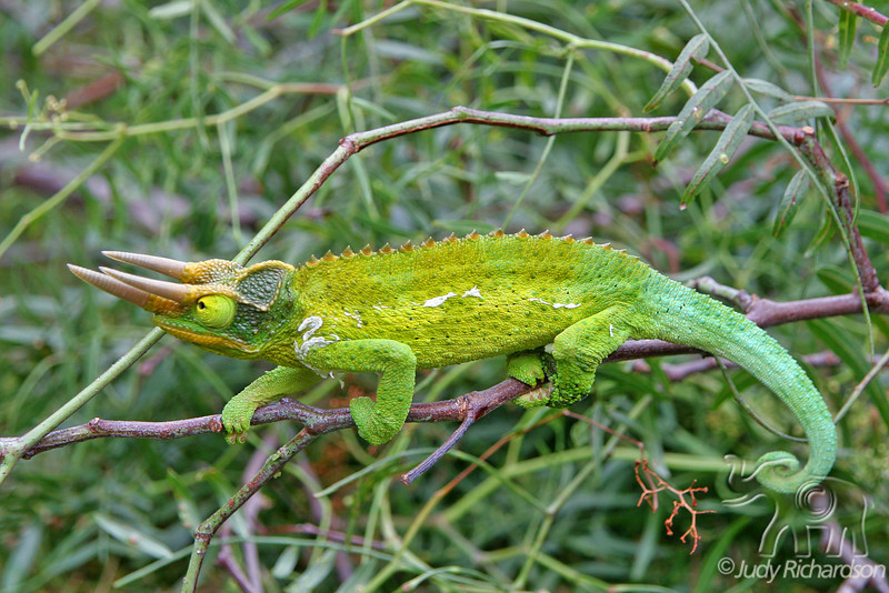Jackson Chameleon walking the line of a twig