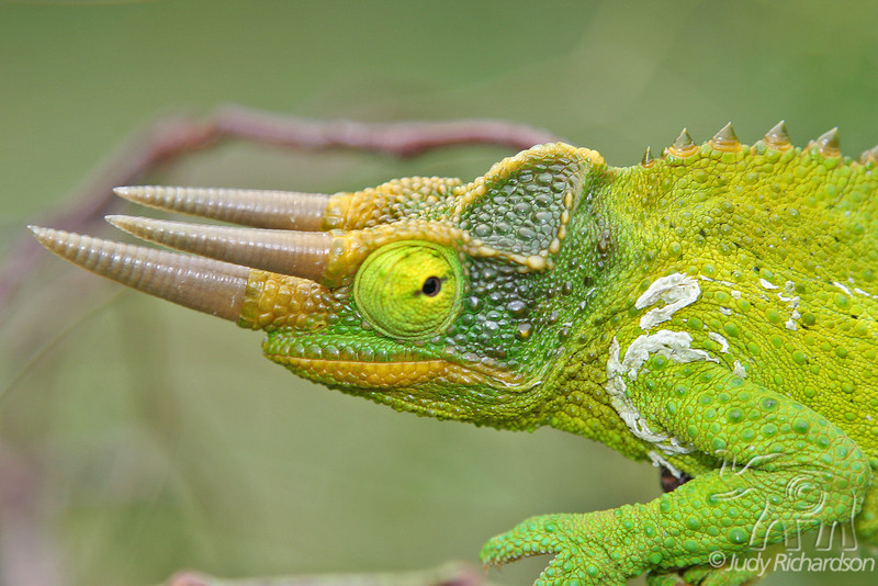 Jackson Chameleon close-up