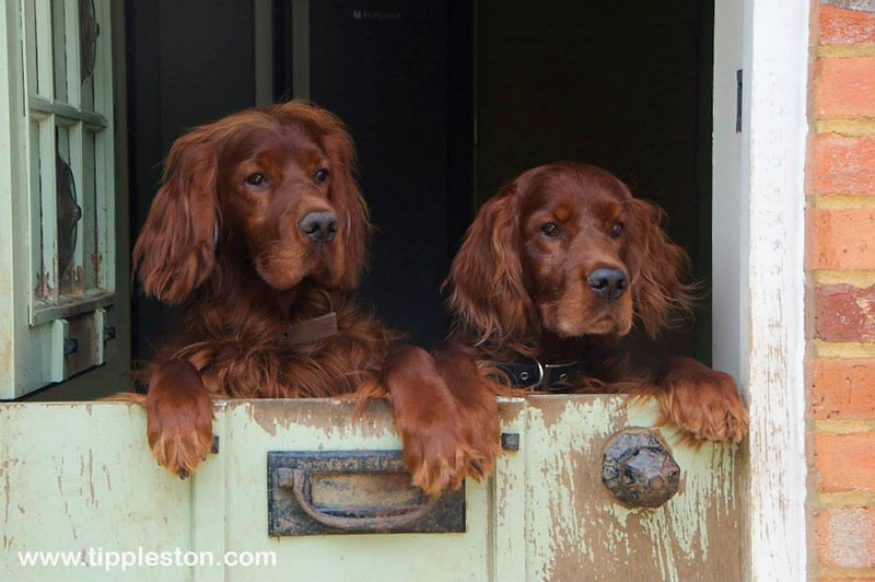 Red Setters