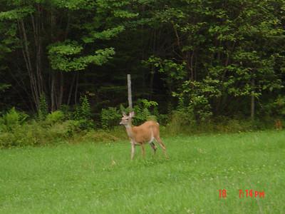 Deer_in_Moultonboro