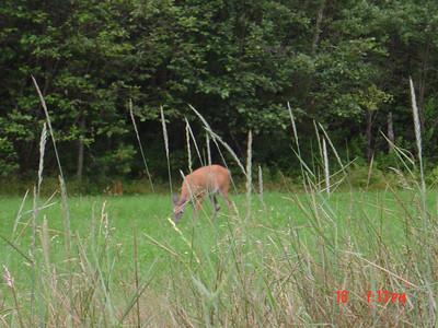 Deer_in_Moultonborough