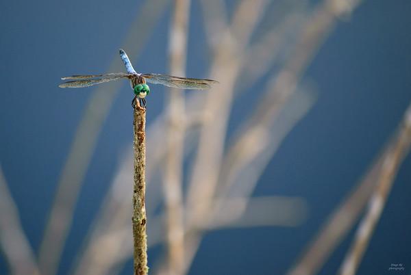 Green Eyes Dragonfly