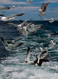 Seagull Mayhem