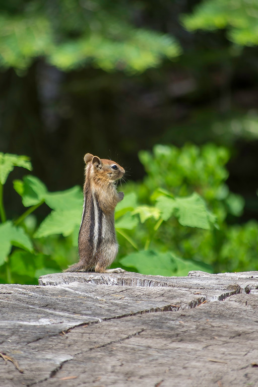 Chipmunk In South Lake Tahoe