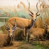 African Impalas
