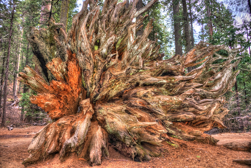 Roots of a Fallen Sequoia Tree