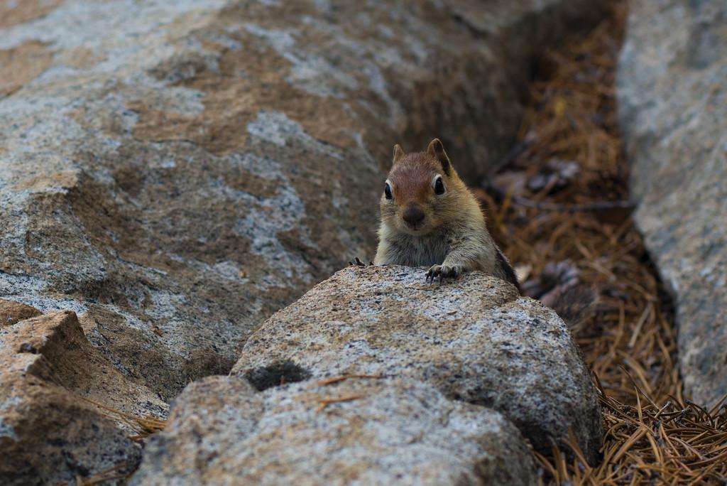 Chipmunk Playing Hide And Seek