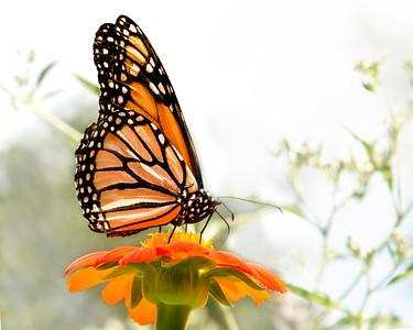 10010 -Monarch
