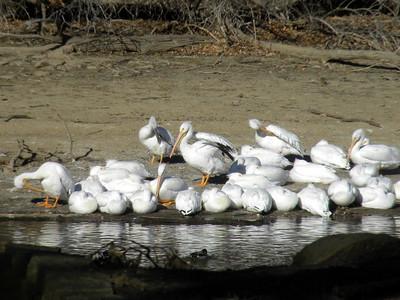 Misc. Winter - Spring 2018 Pelican Migration Photos