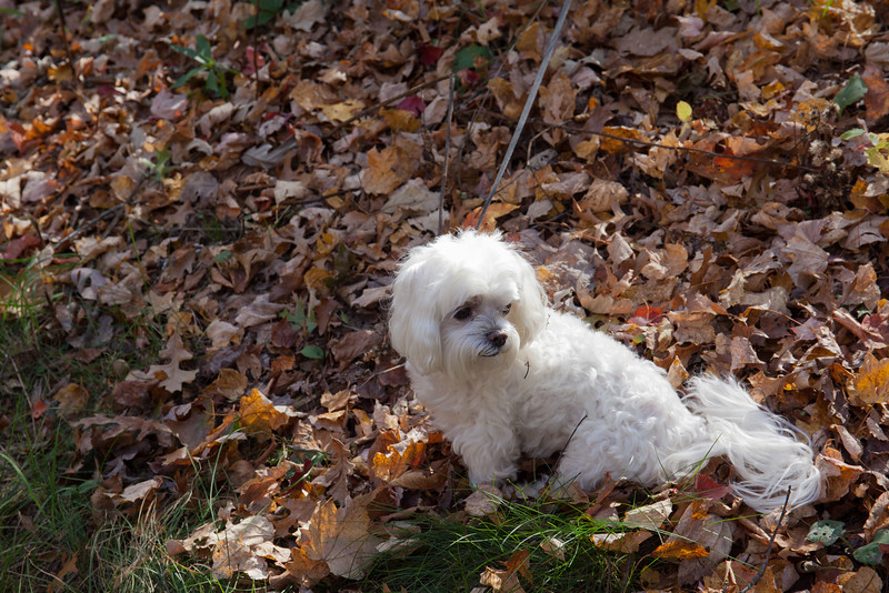Ozzie In The Leaves