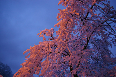 Snow Coated Trees