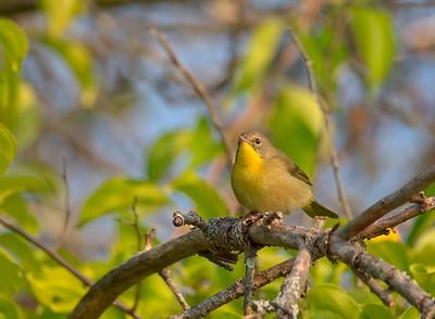 common yellowthroat (female)
