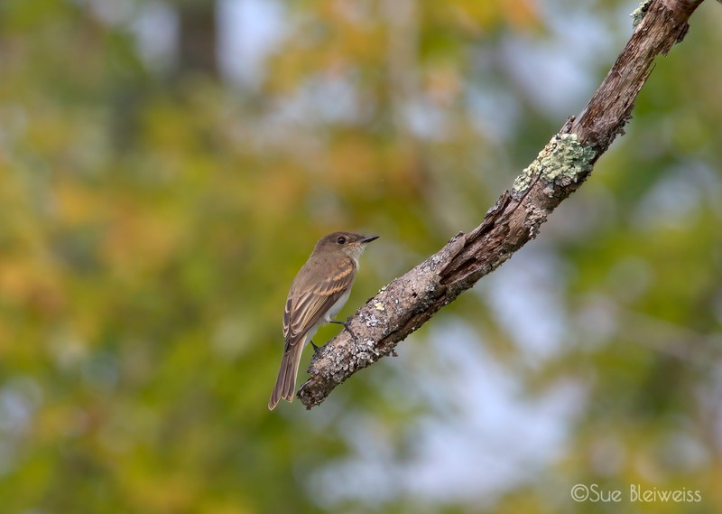 Alder (or possibly a Willow) flycatcher