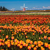 Tulips in Woodburn