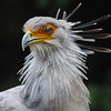 Secretary bird at San Diego Safari Park