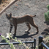 lots of Bobcats in the back yard.  This is one of the younger ones.