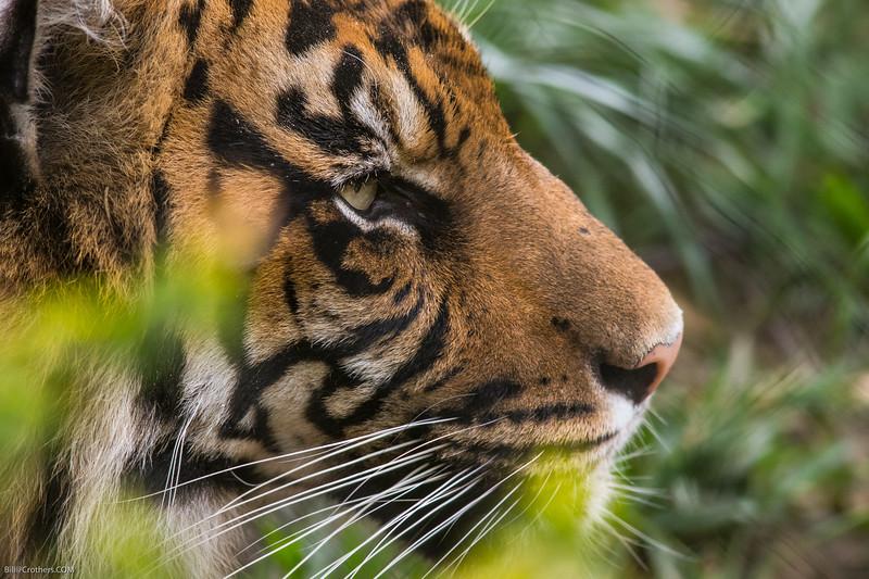 Bengal at Safari Park