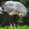 Secretary bird at San Diego Safari Park checking to see why his socks fell down