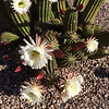 Desert flowers, Surprise Arizona