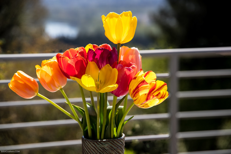 Tulips on the deck