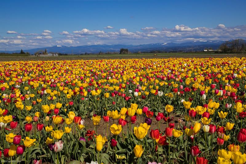 Tulips in Woodburn