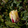 tulip peeking through rose thorns