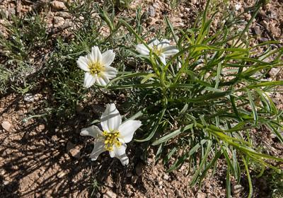 AZ wildflowers 2015