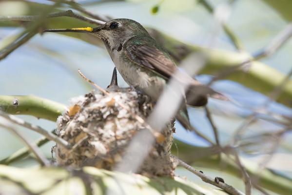 Anna's hummingbirds March 2016