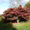 Acer on Battlestone Hill, RHS Wisley