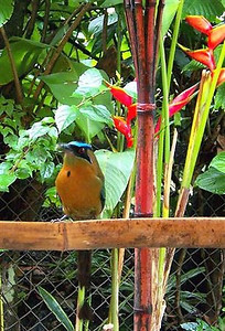 "Our Mascot - One of the BEAUTIFUL BoBo's (aka a MotMot) on our feeder.  Proof that you don't have to cage animals in to get them to want to be with you!!  Every morning I get up & if he's not already waiting for me, I call out ""Mr. BoBo, Bananas"" & 95% of the time, within 2 minutes, he comes from wherever he is for his bananas!  Followed by about 10-15 other birds (unfortunately, also 4-5 squirrels also [aka ""Banditos"" because they eat all the paharos/birds bananas!!) (photo THANX to Terrye Hoffman with www.PrairieSkiesTech.com)"