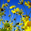 Sonoran Desert Wildflowers