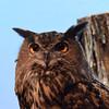 Bubo bubo - Eurasian Eagle Owl