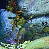 The glass on the Sea Dragon tank made it very hard to focus on them. I think they are so fascinating and beautiful.