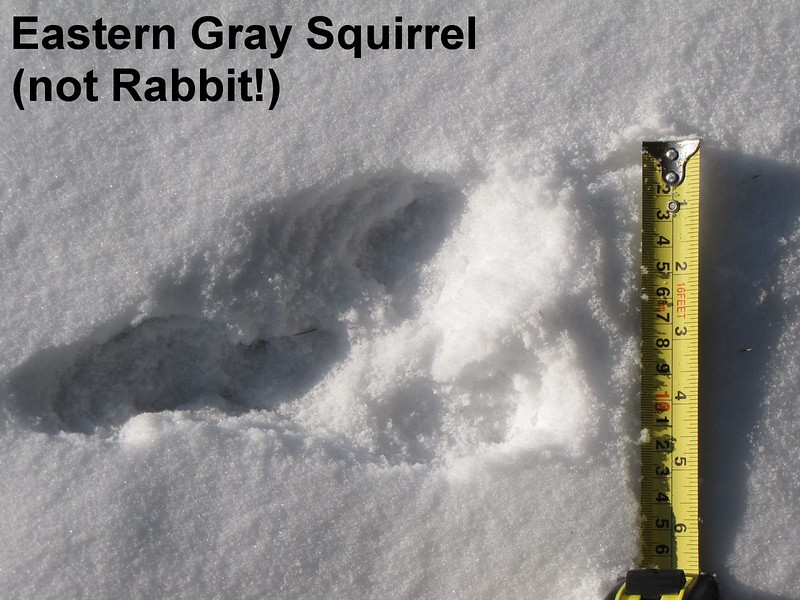 Eastern Gray Squirrel - tracks, as shown here the track set can occasionally look like Eastern Cottontail