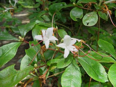azalea, The Botanical Gardens at Asheville