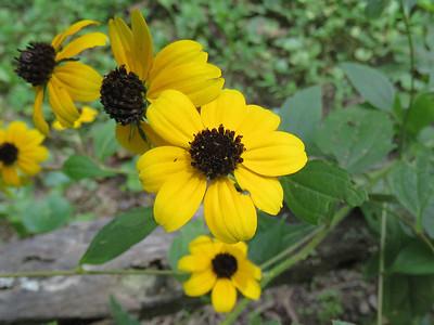 Brown-eyed Susan, The Botanical Gardens at Asheville