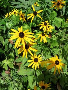 Black-eyed Susans, The Botanical Gardens at Asheville