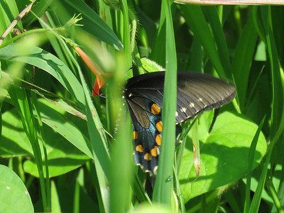 Pipevine Swallowtail, Sam's Gap Overlook  on I-26