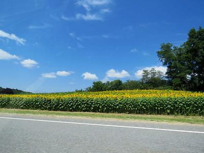 roadside sunflowers along I-26