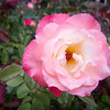 """<span id=""""title"""">Rose 1</span> A rose in """"Betty's Garden"""" along the Beverly Gardens Park."""