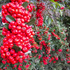 """<span id=""""title"""">Eat?</span> Red berry things are good for you."""