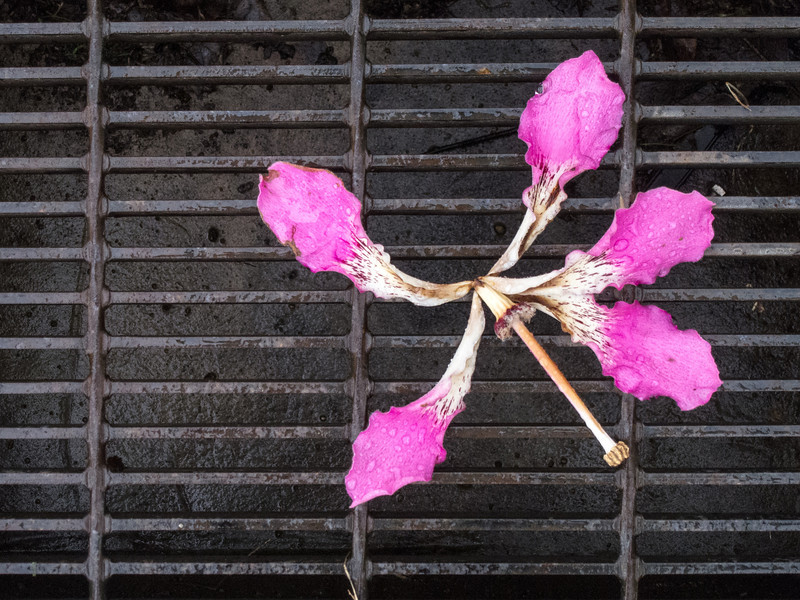 """<span id=""""title"""">Pink Flower</span> A silk floss tree flower on a wet metal grate near the fountain."""