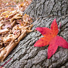 """<span id=""""title"""">Maple Leaf</span> There's generally not a lot of fall color around Los Angeles, but you find it here and there!"""