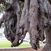 """<span id=""""title"""">Root Clump Things</span> Near the giant Beverly Hills sign is an enormous fig tree with these crazy root clumps growing down from the branches. I think that's what was going on, anyways."""
